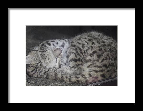Cat Framed Print featuring the photograph Leopard Kitten by Misty VanPool