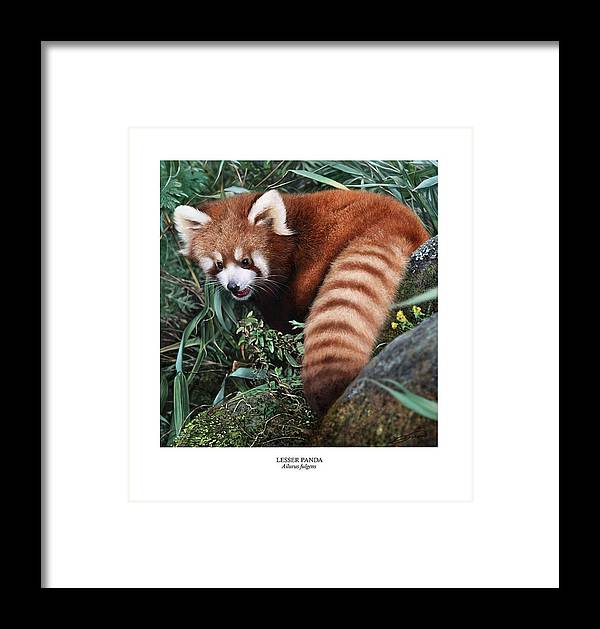 Panda Framed Print featuring the digital art Lesser Panda Ailurus Fulgens by Owen Bell