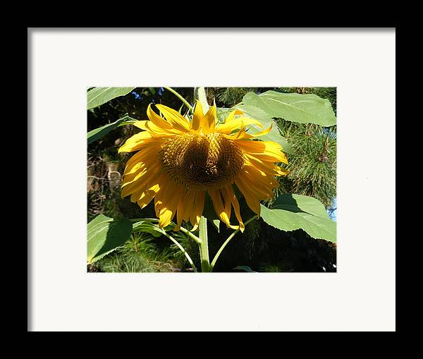 Sunflowers Framed Print featuring the photograph Let Me Take A Bow by Gail Salitui