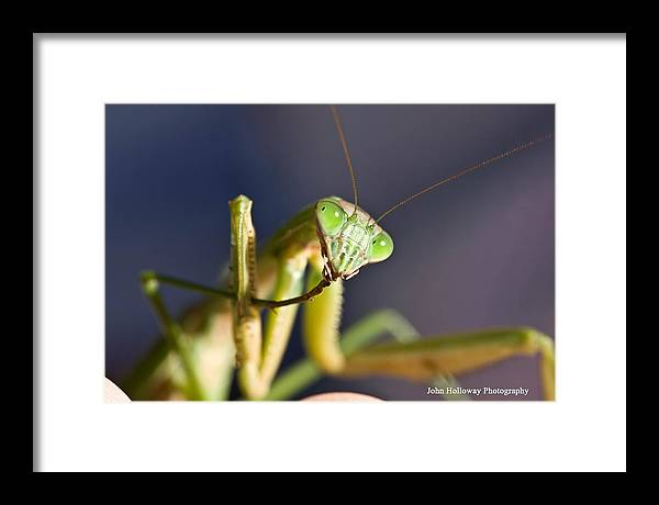 Mantis Framed Print featuring the photograph Let Us Prey by John Holloway