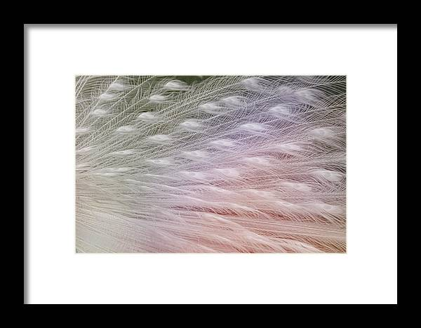 Albinism Framed Print featuring the photograph Leucistic Peachick by Jamart Photography
