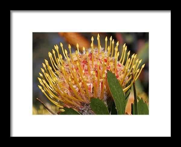Plant Framed Print featuring the photograph Leucospermum Muirii by Tony Brown