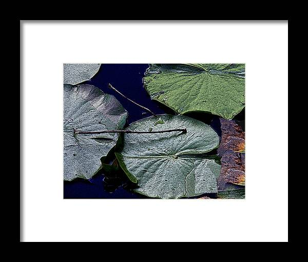 Lily Pads Framed Print featuring the photograph Life Of A Lily Pad by Nicholas J Mast
