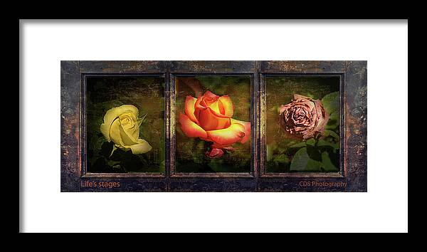 Roses Framed Print featuring the photograph Life's Stages by Dale Stillman