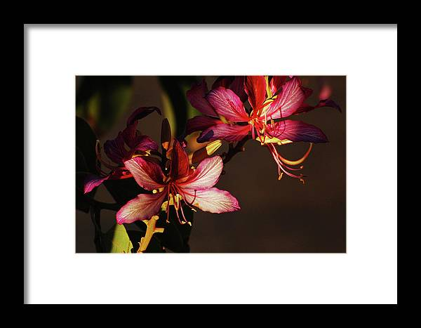 Orchid Tree Framed Print featuring the photograph Light And Shadow Play by Jean Booth