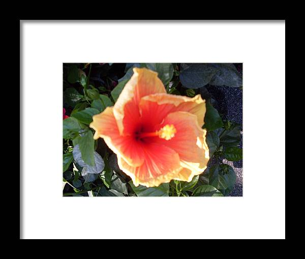 Hibiscus Sunlight Florida Flower Framed Print featuring the photograph Light From The Darkness by Warren Thompson