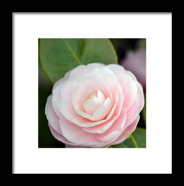 Light Pink Framed Print featuring the photograph Light Pink Camellia Flower by P S