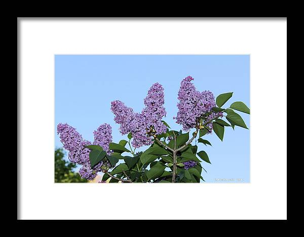 Flowers Framed Print featuring the photograph Lilacs In The Sky by Carolyn Postelwait