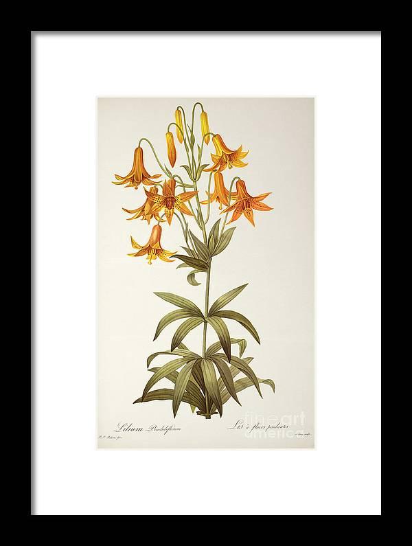 Lilium Penduliflorum Framed Print featuring the painting Lilium Penduliflorum by Pierre Joseph Redoute
