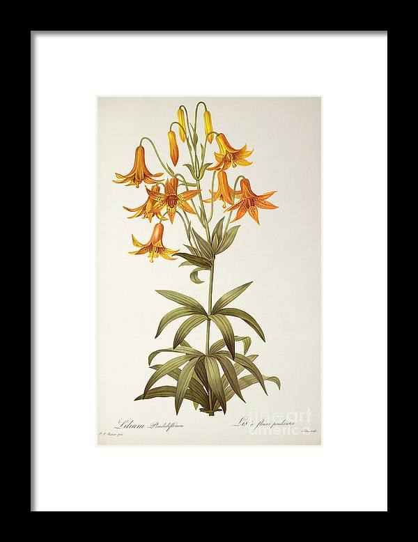 Lilium Penduliflorum Framed Print featuring the painting Lilium Penduliflorum by Pierre Joseph Redoute