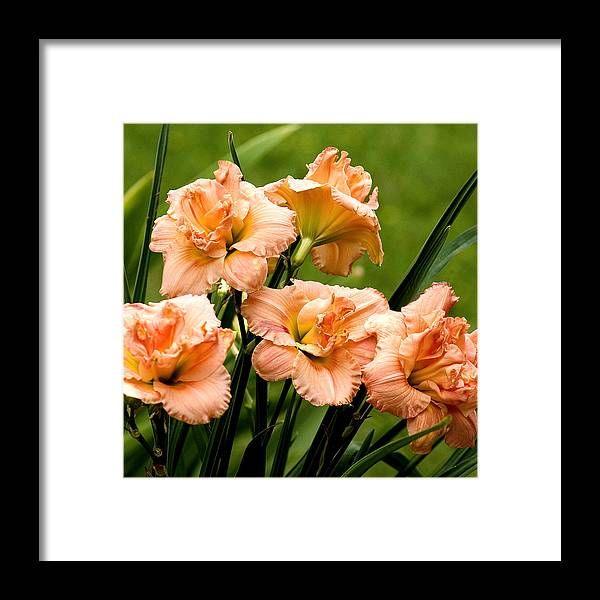 Flowers Framed Print featuring the photograph Lillies by Ed Jones