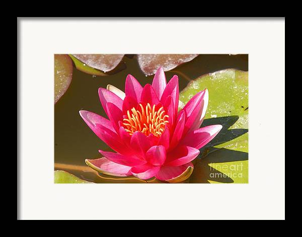 Flower Framed Print featuring the photograph Lilly Pad With Bloom by Dennis Hammer