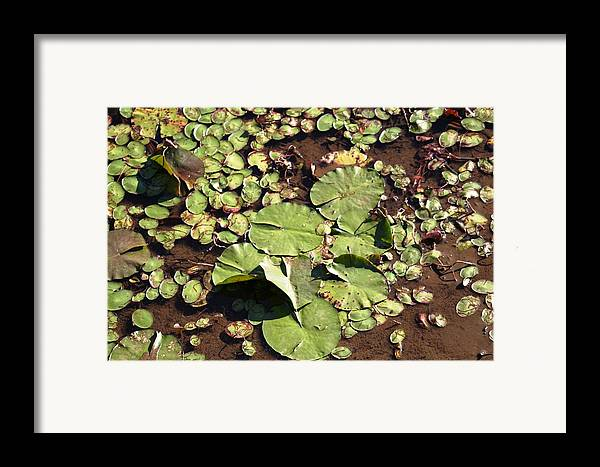 Nature Framed Print featuring the photograph Lilly Pads by Lisa Johnston