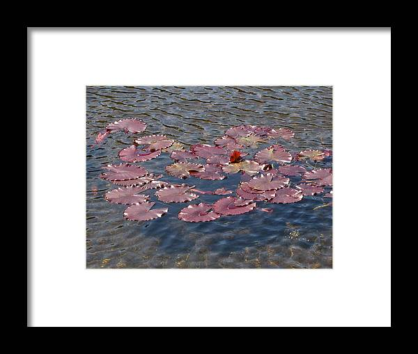 Lilly Framed Print featuring the photograph Lilly Pads by Melissa Parks