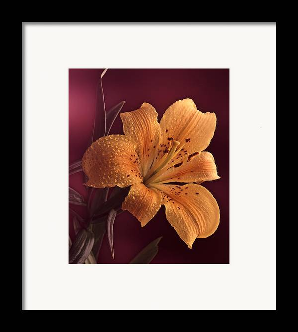 Still Life Framed Print featuring the photograph Lily 14 by Joseph Gerges