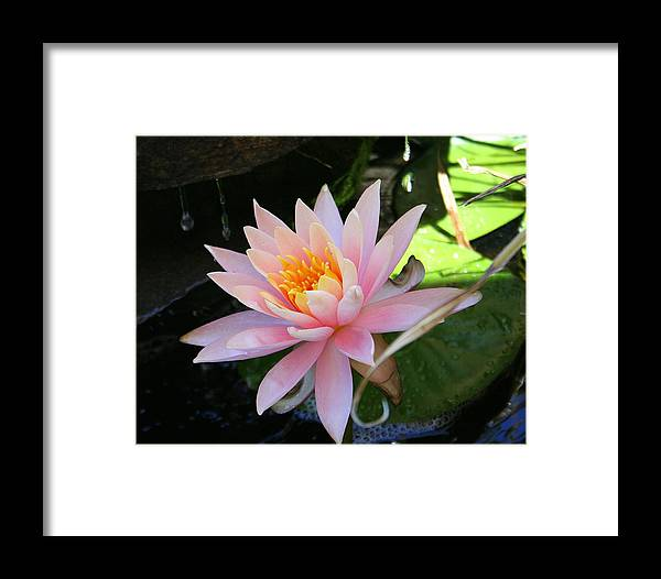Lily Oad Framed Print featuring the photograph Lily Bloomed by Kerry Reed