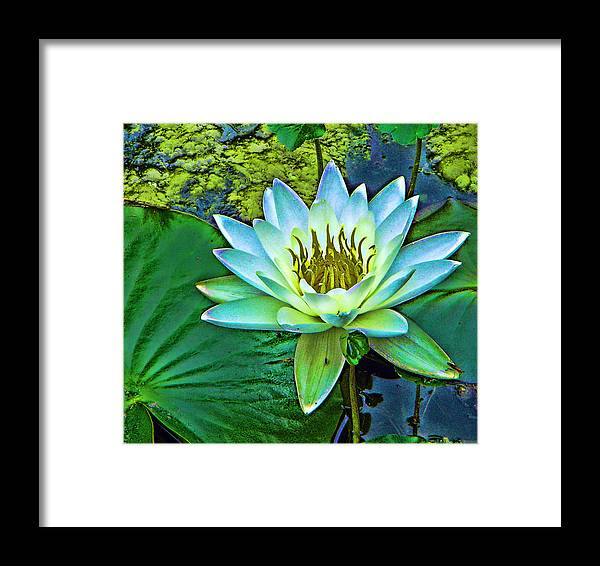 Water Lily Framed Print featuring the photograph Lily by Laurie Prentice