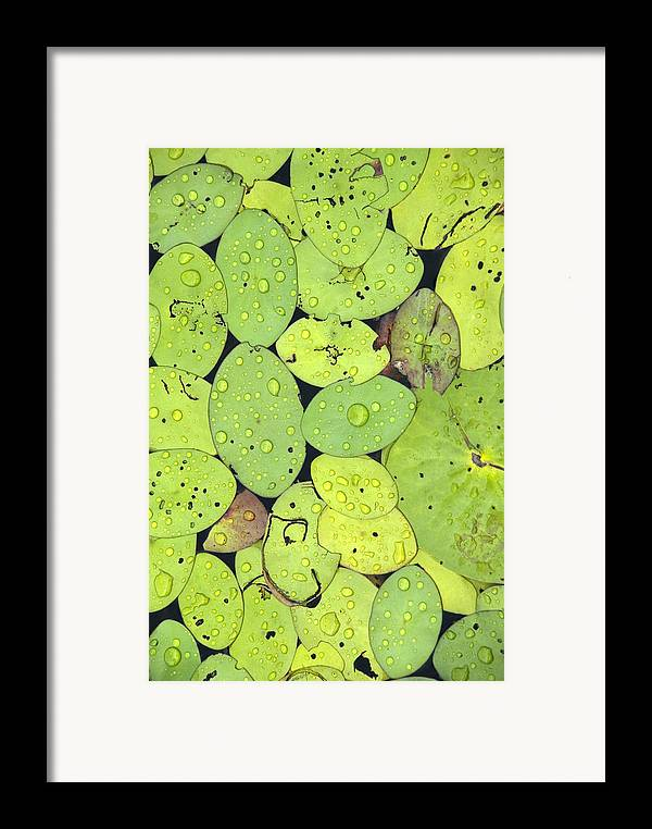 Lily Pads Framed Print featuring the photograph Lily Pads by Jessica Wakefield