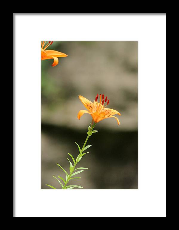 Lily Framed Print featuring the photograph Lily Stands Alone by ShadowWalker RavenEyes Dibler