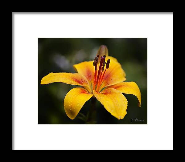 Lily Framed Print featuring the photograph Lily Was Here by Patricia Stalter