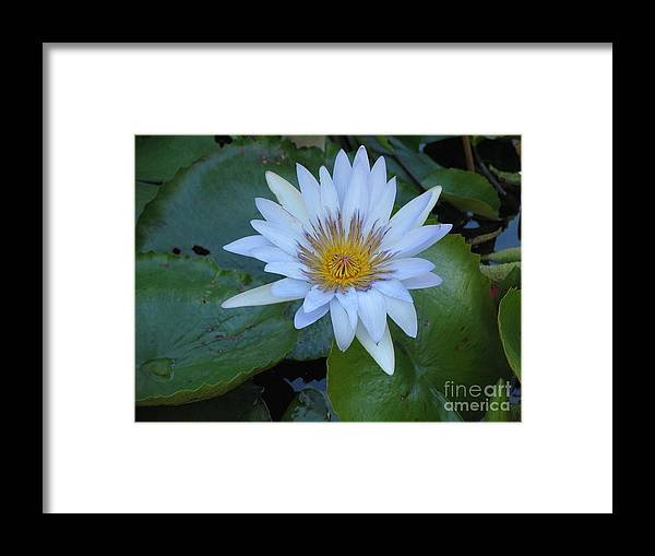Flower Framed Print featuring the photograph Lily White by Stephanie Richards