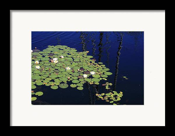 Lilypads Framed Print featuring the photograph Lily Worlds One by Alan Rutherford
