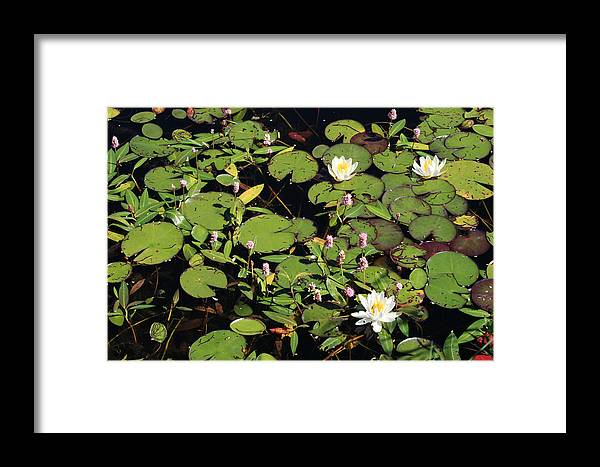 Lilypads Framed Print featuring the photograph Lily Worlds Two by Alan Rutherford