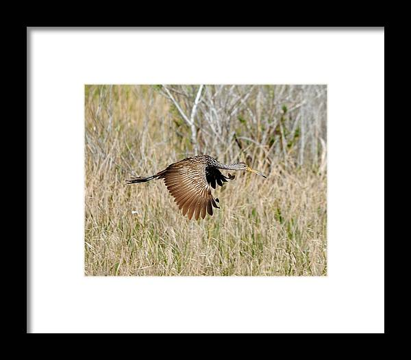 Limpkin Framed Print featuring the photograph Limpkin In Flight by John R Young Jr