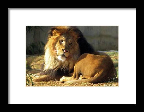Lion Framed Print featuring the photograph Lion 2 Washington D.c. National Zoo by Richard Singleton