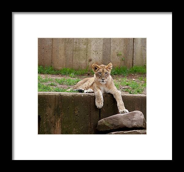 Lion Cub Framed Print featuring the photograph Lion Cub by Christina Durity