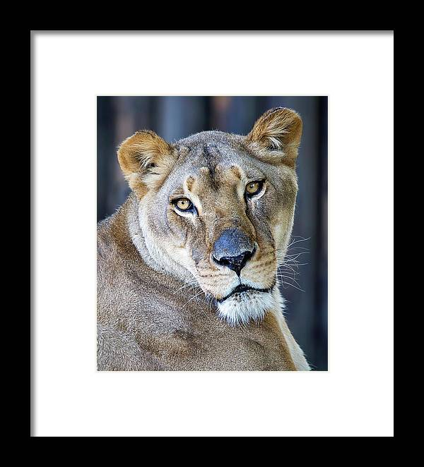 Lion Framed Print featuring the photograph Lion by Deborah Penland