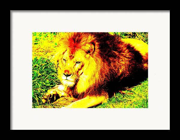Lion Framed Print featuring the photograph Lion Of Judah by Ken Volok
