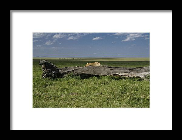 Africa Framed Print featuring the photograph Lion on a Log by Michele Burgess