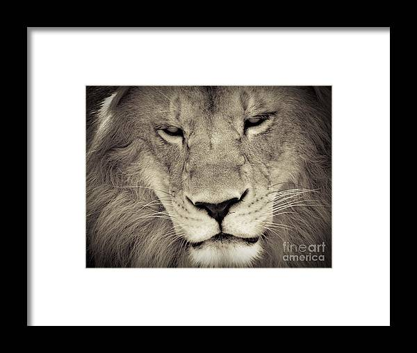 Lion Framed Print featuring the photograph Lion by Tonya Laker