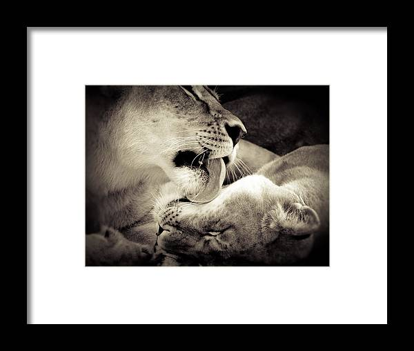 Lion Framed Print featuring the photograph Lioness Love by Tonya Laker