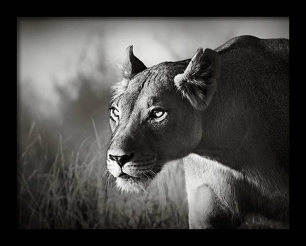 Lioness stalking by Johan Swanepoel