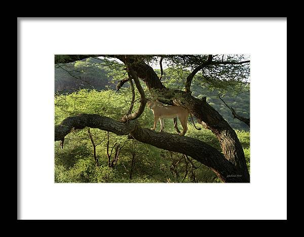 Lions Framed Print featuring the photograph Lions Do Fly by Joseph G Holland