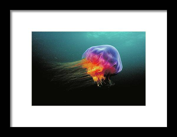 Mp Framed Print featuring the photograph Lions Mane Cyanea Capillata Jellyfish by Scott Leslie