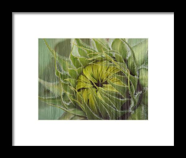 Sunflower Framed Print featuring the photograph Liquid Sunflower by Tingy Wende