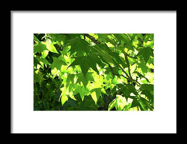 Liquidambar Framed Print featuring the photograph Liquidambar Tree Branches by Kirsten Giving