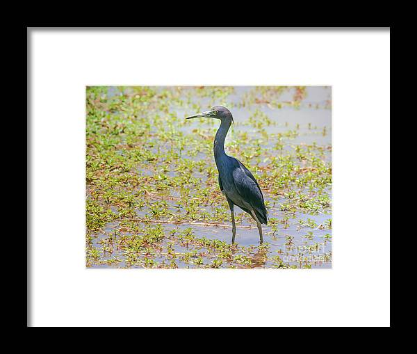 Nature Framed Print featuring the photograph Little Blue Heron In Weeds by Robert Frederick