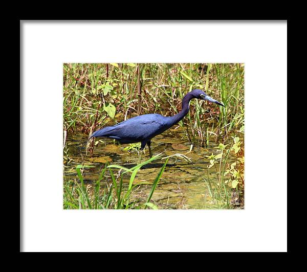 Little Blue Heron Non-breeding Adult Framed Print featuring the photograph Little Blue Heron by Irina Hays