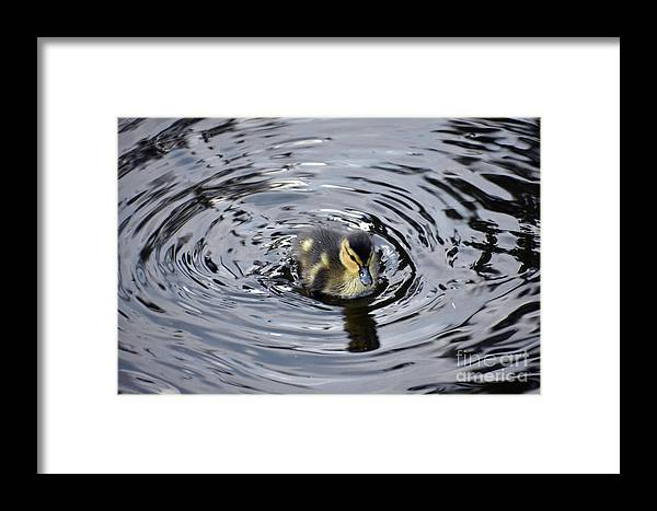 Baby Framed Print featuring the photograph Little Duckling Goes For A Swim by Rose De Dan