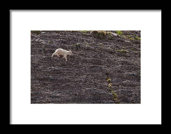 Mountain Goat Framed Print featuring the photograph Little Explorer by Kent Keller
