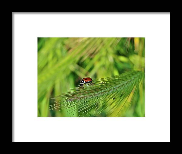 Ladybug Framed Print featuring the photograph Little Lady by Diana Hatcher