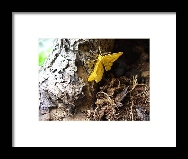 Insect Framed Print featuring the photograph Little Yellow Moth by Peggy King
