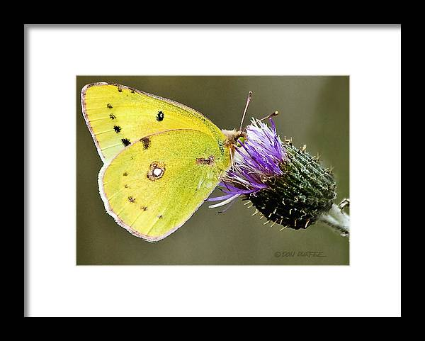 Butterfly Framed Print featuring the photograph Little Yellow On Bullthistle by Don Durfee