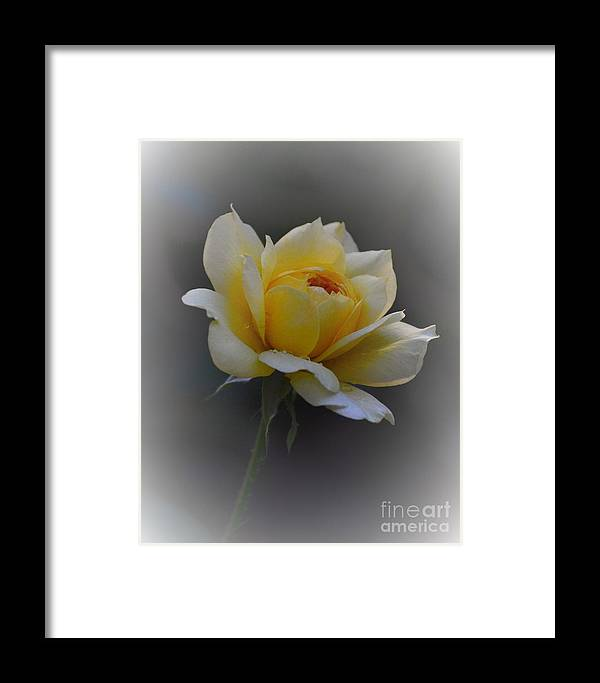 Yellow Rose Framed Print featuring the photograph Little Yellow Rose by Marilyn Smith