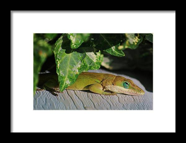 Anole Framed Print featuring the photograph Lizzy Loves The Sun by Trudi Southerland