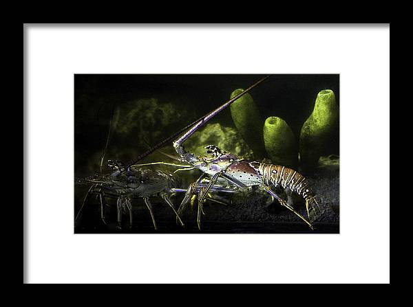 Lobster Framed Print featuring the photograph Lobster In Love by Marilyn Hunt